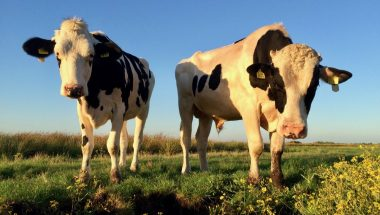 Experience Waterland cows
