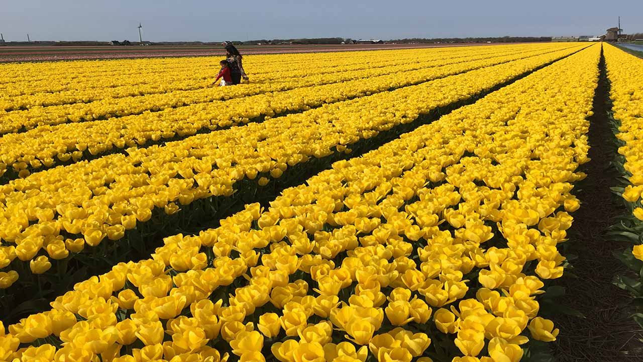 Tulipfields holland tour